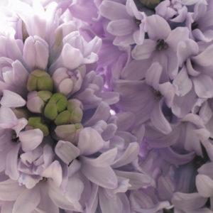 fleur de jacinthe violet pale
