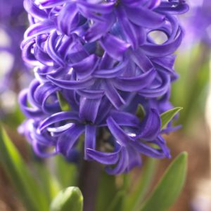 fleur de bulbe de jacinthe bleu