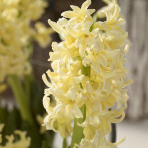 fleur de bulbe de jacinthe jaune
