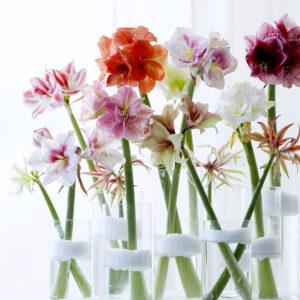 amaryllis en vase