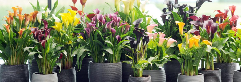 Comment planter et entretenir un arum ?