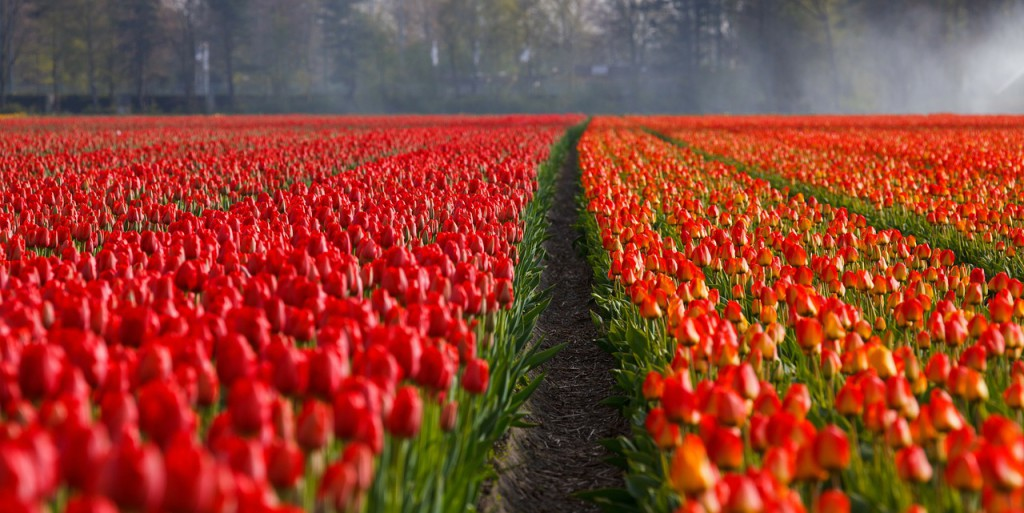 champs-tulipe-keukenhof