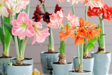 plantation-amaryllis-pot