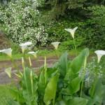 plantation-arum-exterieur