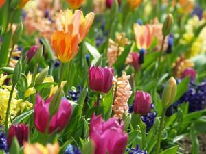 plantation-tulipe-jacinthe