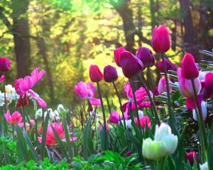 planter-une-tulipe-massif