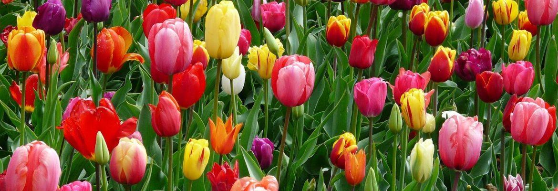 La tulipe, le bulbe à fleurs star de nos jardins
