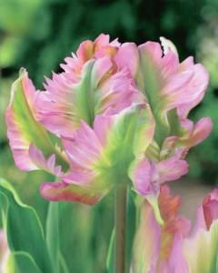 tulipe green wave
