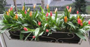 jardiniere-tulipes