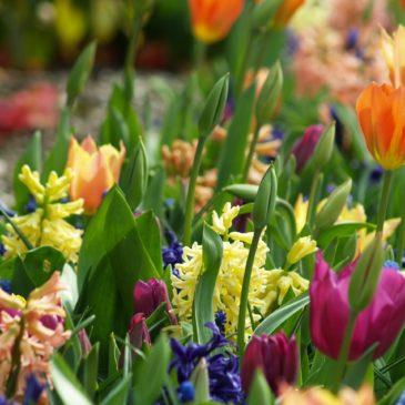 Planter des tulipes : quand, où, comment ?