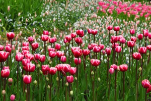 plus-belles-tulipes-2015