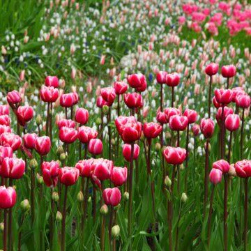 Notre sélection des plus belles tulipes