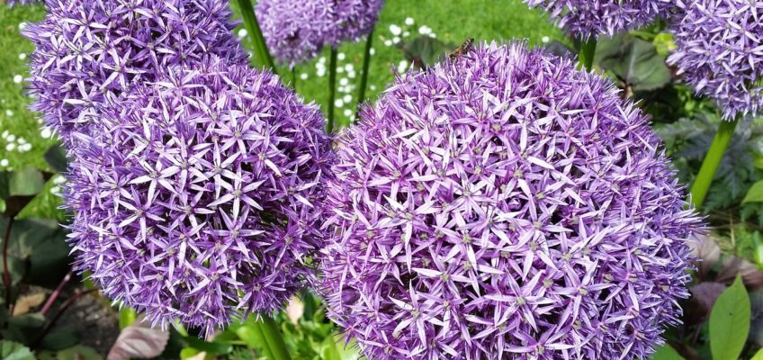 Allium (Ail d'ornement) – Un bulbe sensationnel !