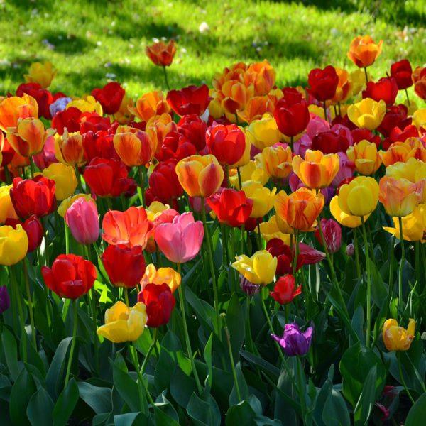 quand planter des tulipes