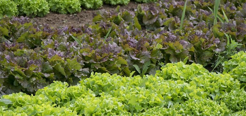 Que semer en septembre au jardin potager ?