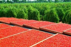récolte de baies de goji