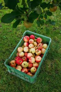 recolter des pommes en septembre