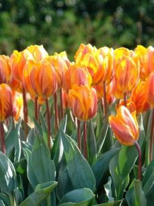 tulipe-princess-irene