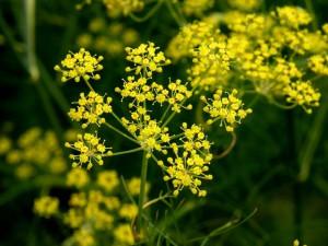 fenouil pollinisateur