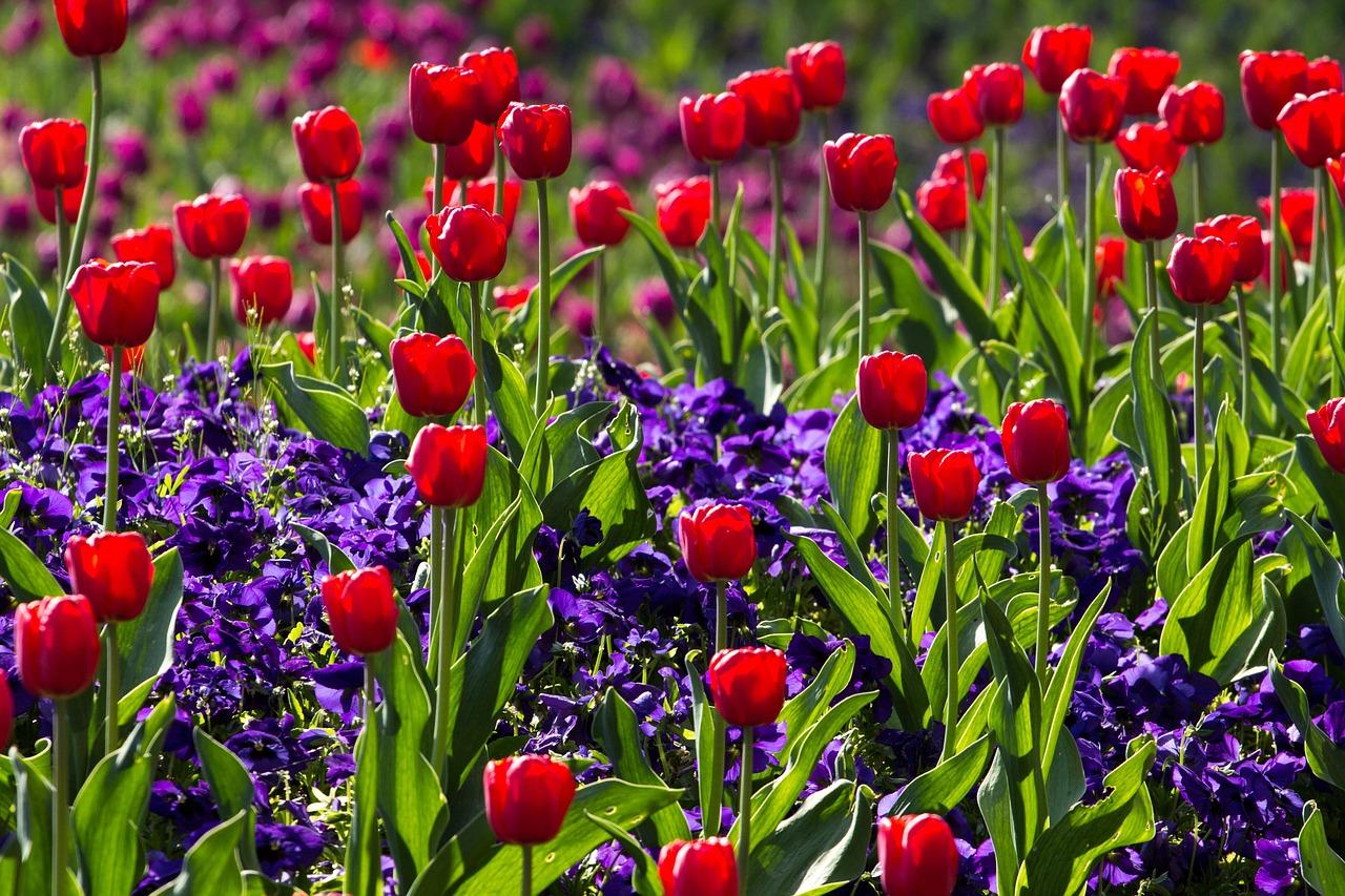 tulipe floraison