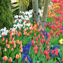 Bulbes de printemps : créer de beaux massifs