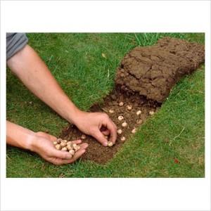 planter des crocus pelouse