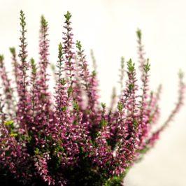Quelles plantes pour fleurir mon balcon en automne?