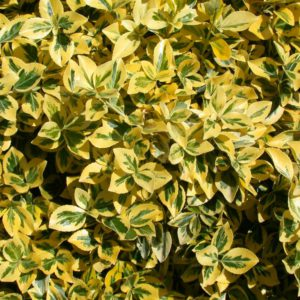 Euonymus 'Emerald'n'Gold'