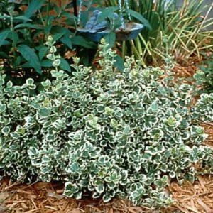 Euonymus 'Emerald Gaiety'
