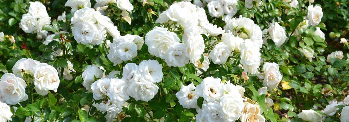 Comment réussir la culture de rosiers en pot?