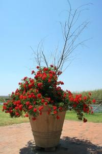 rosier pot