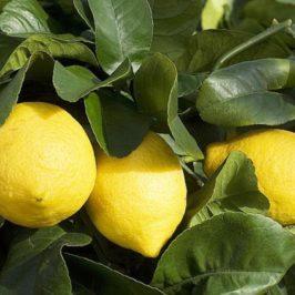 Entretenir facilement son citronnier 4 saisons !