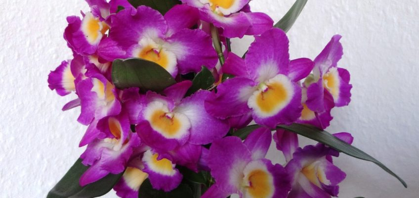 Dendrobium Nobilé – Orchidée bambou