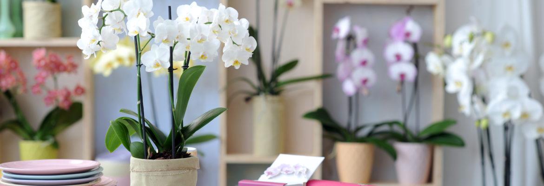 Phalaenopsis - Nos conseils pour avoir une orchidée magnifique !