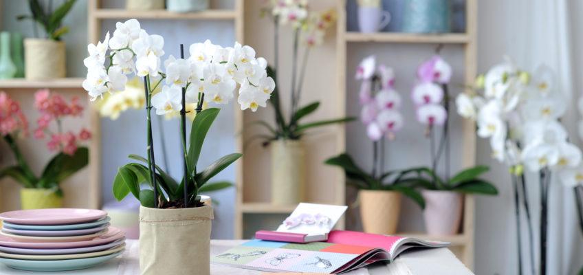 Avoir une belle Phalaenopsis, c'est facile !