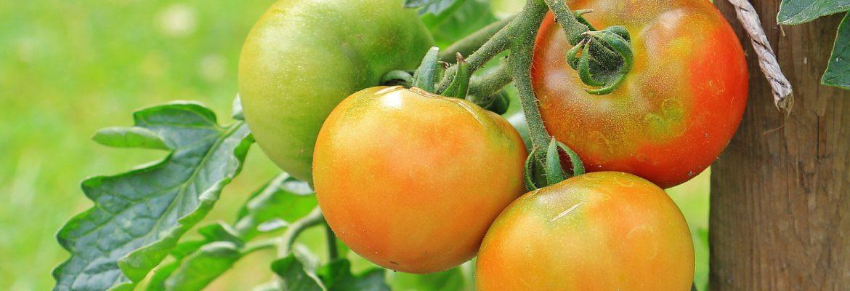 Comment réussir la culture de la tomate ?