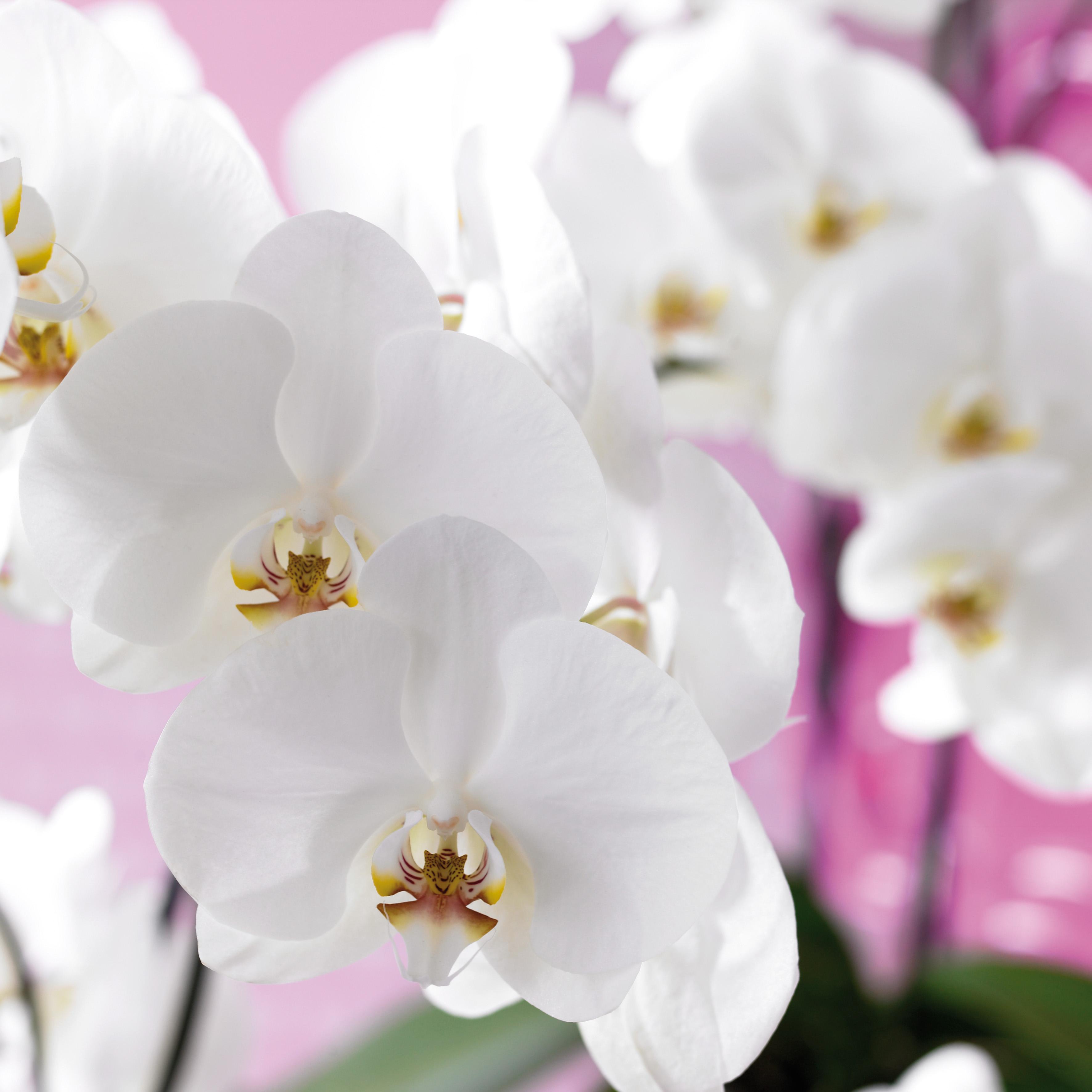 guide d 39 achat et d 39 entretien de l 39 orchid e phalaenopsis. Black Bedroom Furniture Sets. Home Design Ideas