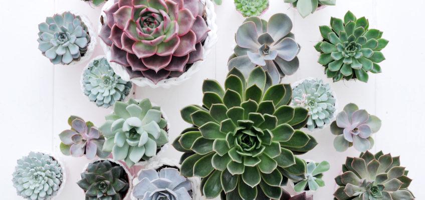 Comment entretenir vos succulentes et plantes grasses ?