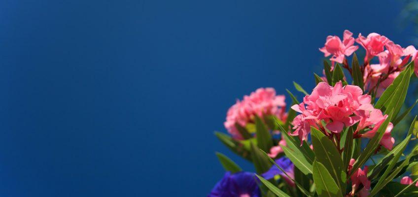 Comment reconnaitre les différents types de laurier ?