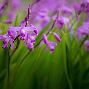 Blétilla Striata: l'orchidée jacinthe est une plante pour votre jardin