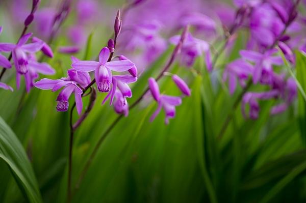 → Bletilla striata - Fiche conseils sur une orchidée de jardin