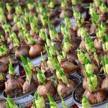 Bulbes et autres plantes tubéreuses – Définitions et caractéristiques