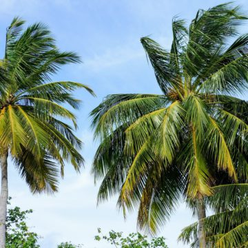 Comparatifs: Les Palmiers extérieurs