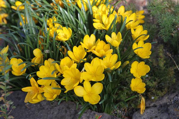 Le très florifère Sternbergia – Crocus jaune d'automne ou « Vendangeuse »