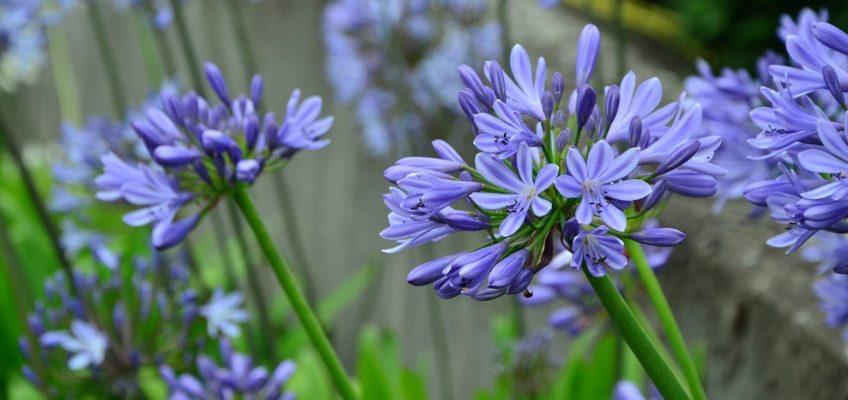 7 conseils pour réussir la plantation des Agapanthes, Amaryllis, Nérines