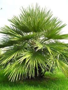 bien choisir son palmier pour le jardin grand comparatif. Black Bedroom Furniture Sets. Home Design Ideas