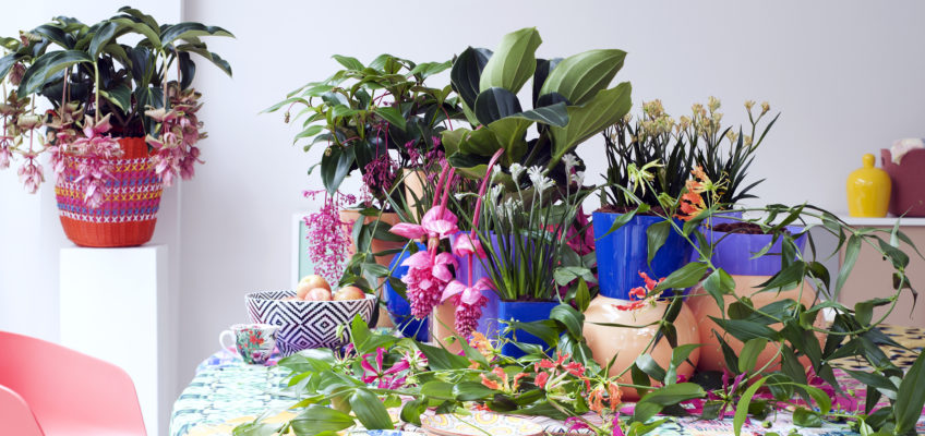 La plante chauve-souris – Tacca Chantrieri