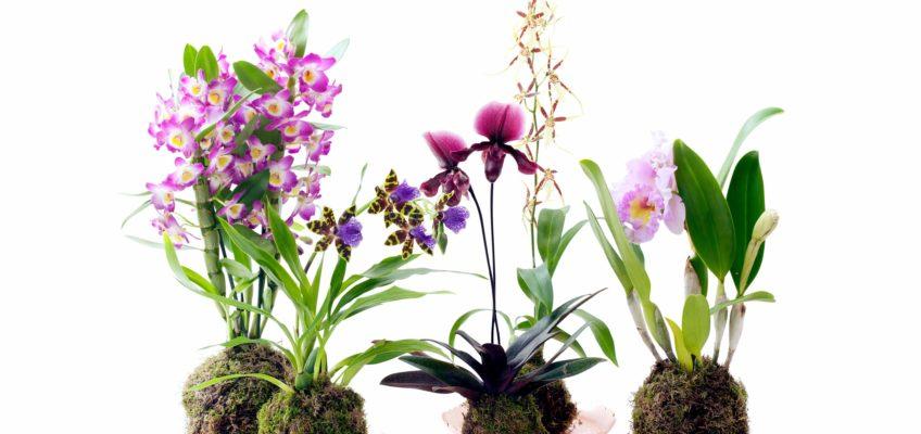 4 orchidées pour débutants– Super facile à entretenir !
