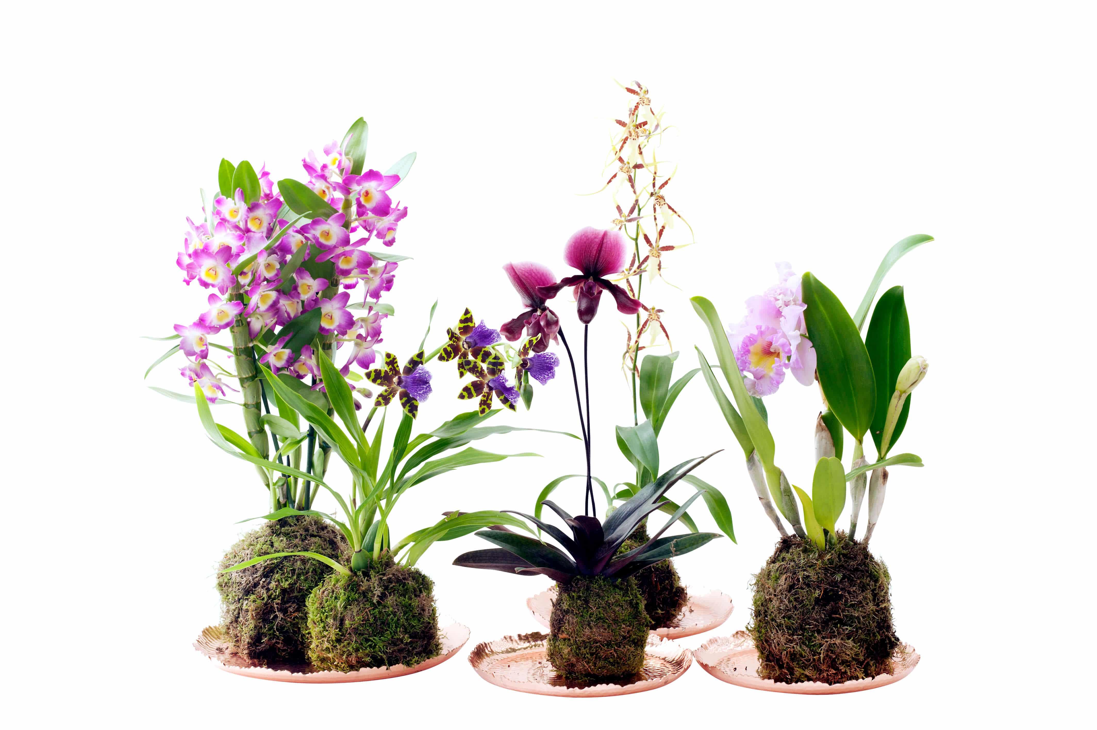 6a151f1fa1a2 4 Orchidées très faciles à entretenir - Ideal pour ceux n ayant pas ...