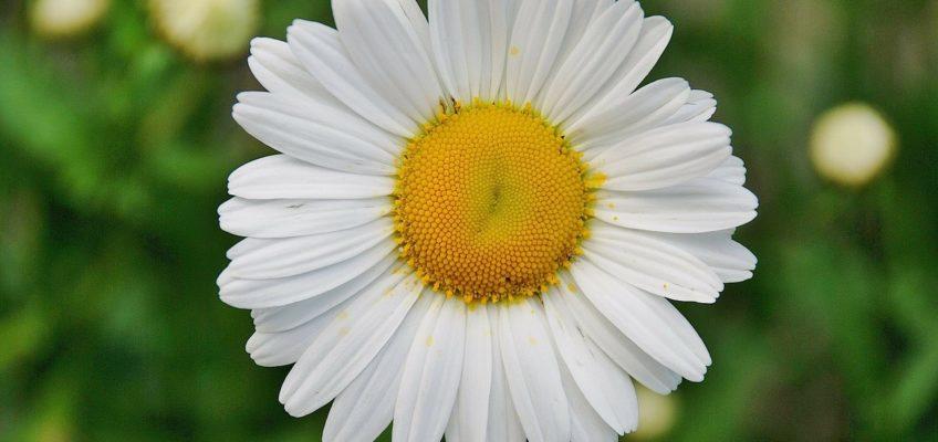 Pourquoi les noms des plantes sont en latin ?